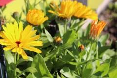 delacombe-community-garden-9
